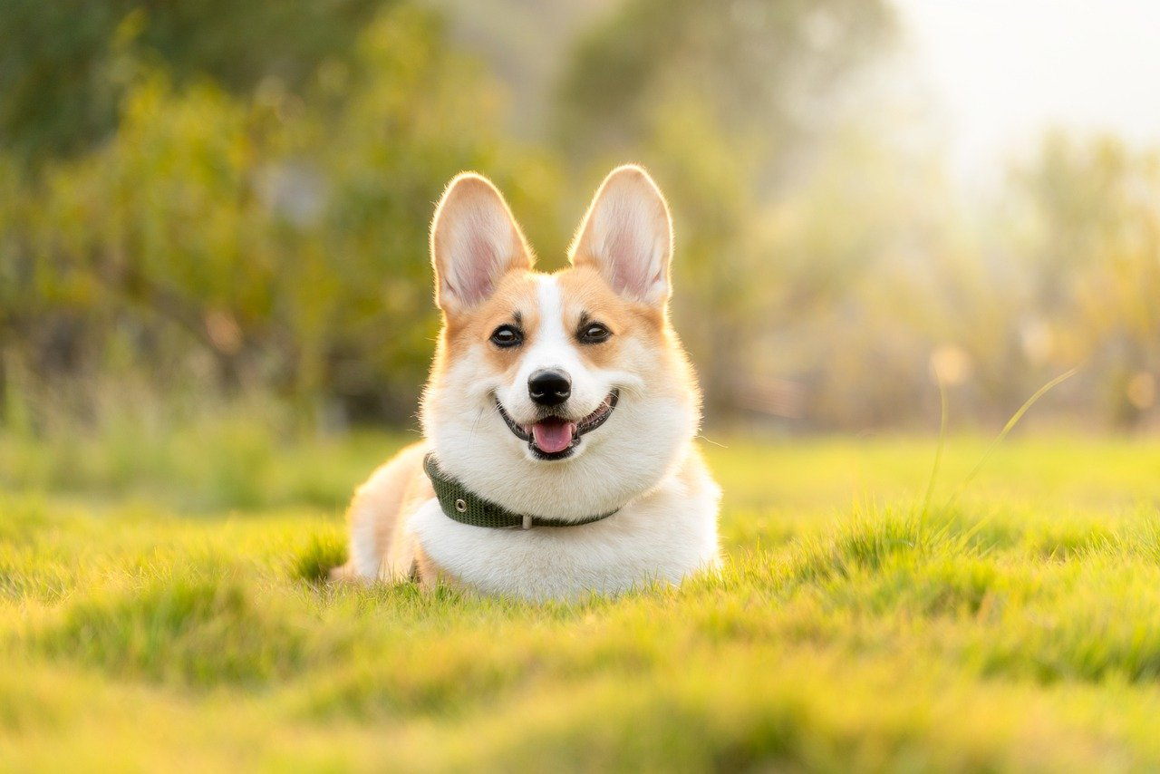dog-corgi-cute-4988985.jpg